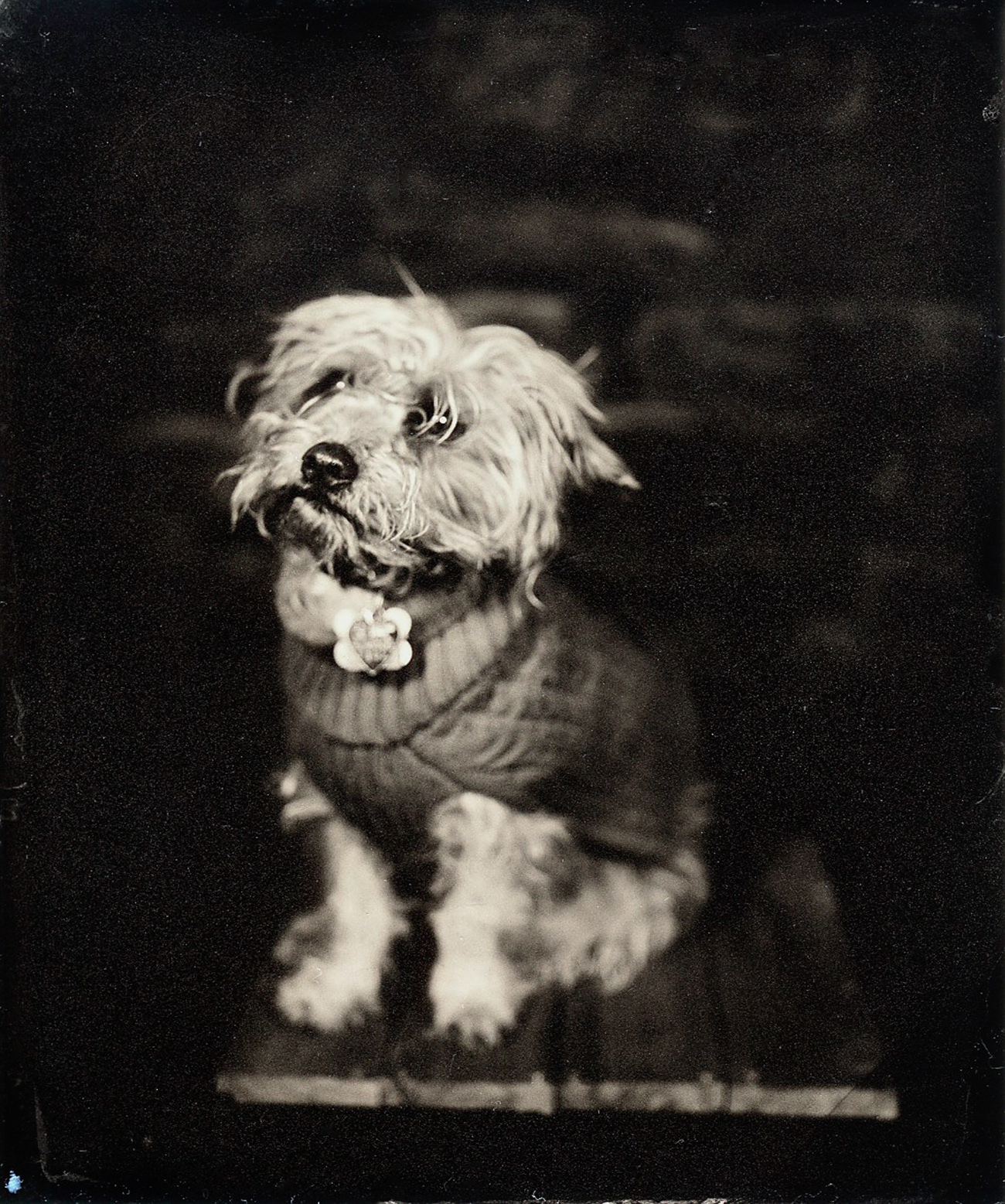 Wet plate collodion tintype pet puppy portrait